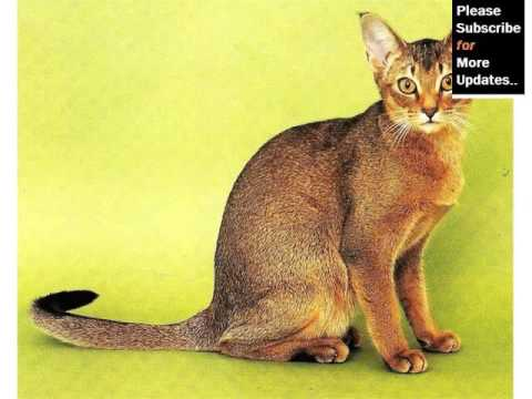 Abyssinian Cat - Cat Pictures