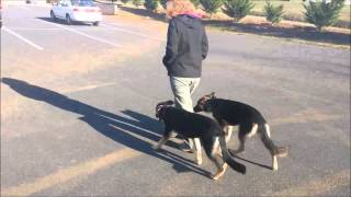 Double Pup Off Leash Heel | 6 Month Old German Shepherds | Peachtree City Dog Training