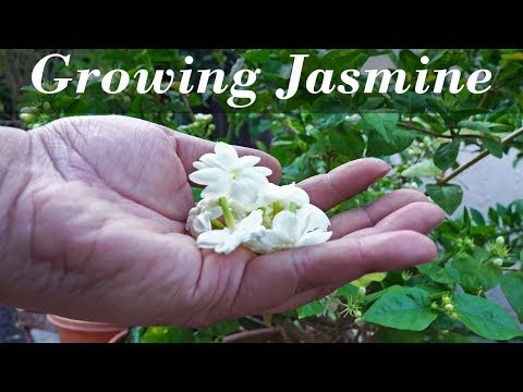 Growing Jasmine - How To Grow Jasmine Plants In Containers