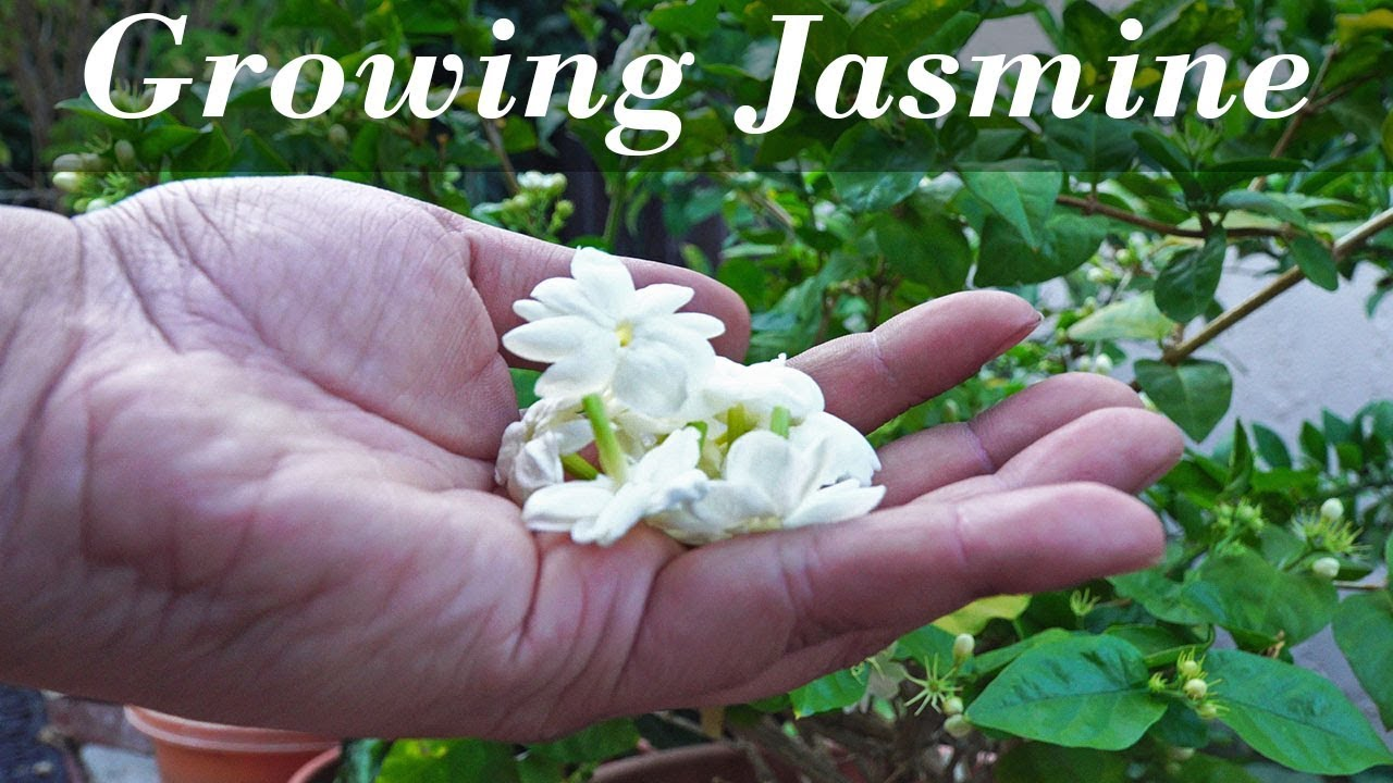 Flora series growing jasmine how to grow jasmine plants in flora series growing jasmine how to grow jasmine plants in containers izmirmasajfo