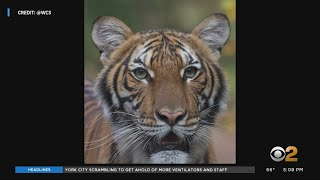 Coronavirus Update: Bronx Zoo Tiger Positive For Covid 19 Raises Questions About Household Pets