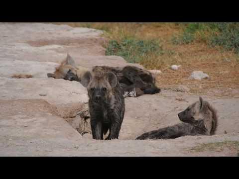 PC299146   Hyena's Amboseli NP