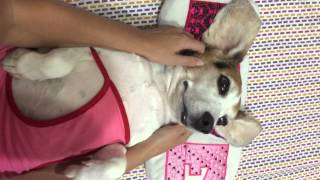 Dog Weight Loss And Relaxation.tutorial.beagle Mas