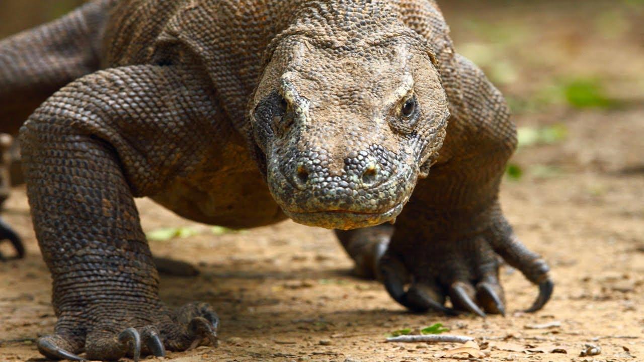 КОМОДСКИЙ ВАРАН - Родственник динозавров и самая опасная ящерица в мире!!