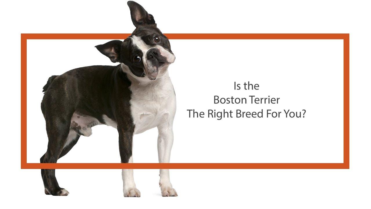 Boston Terrier Puppies - Petland Knoxville