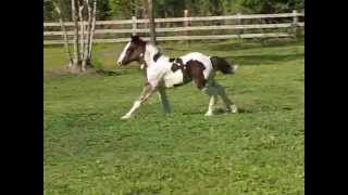 Gypsy Vanner filly Wine & Roses for sale - 7 weeks old
