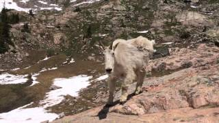 Majestic Mountain Goat at a Half-Frozen Alpine Lake - Vail, Colorado; Booth Lake