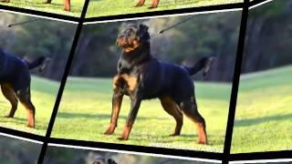 Deuel Vom Hause Harless - Rottweiler Stud Dog Tennessee - Stud Service