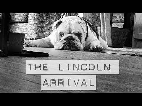 Bringing home our Rescue English Bulldog for the first time