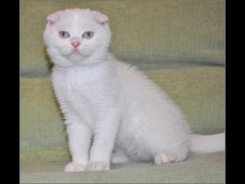 белый вислоухий шотландец фото