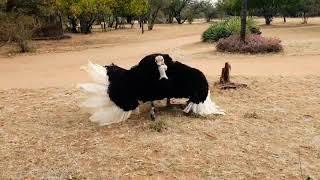 Male ostrich dancing