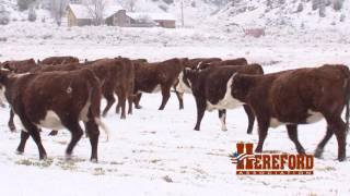 The American Rancher featuring The American Hereford Association January 2017