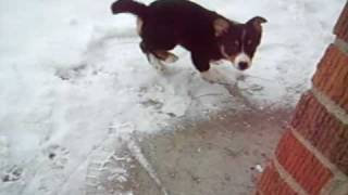 Our 2 Welsh Corgi Pups Playing In The Snow