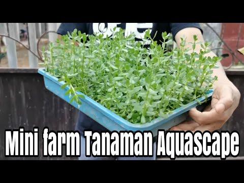 #226-membuat-mini-farm-tanaman-aquascape-dirumah