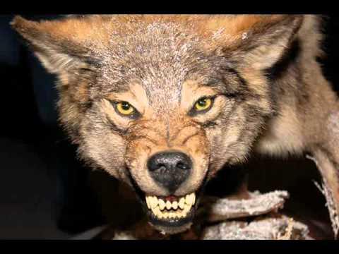 Охота на волков - Александр Розенбаум