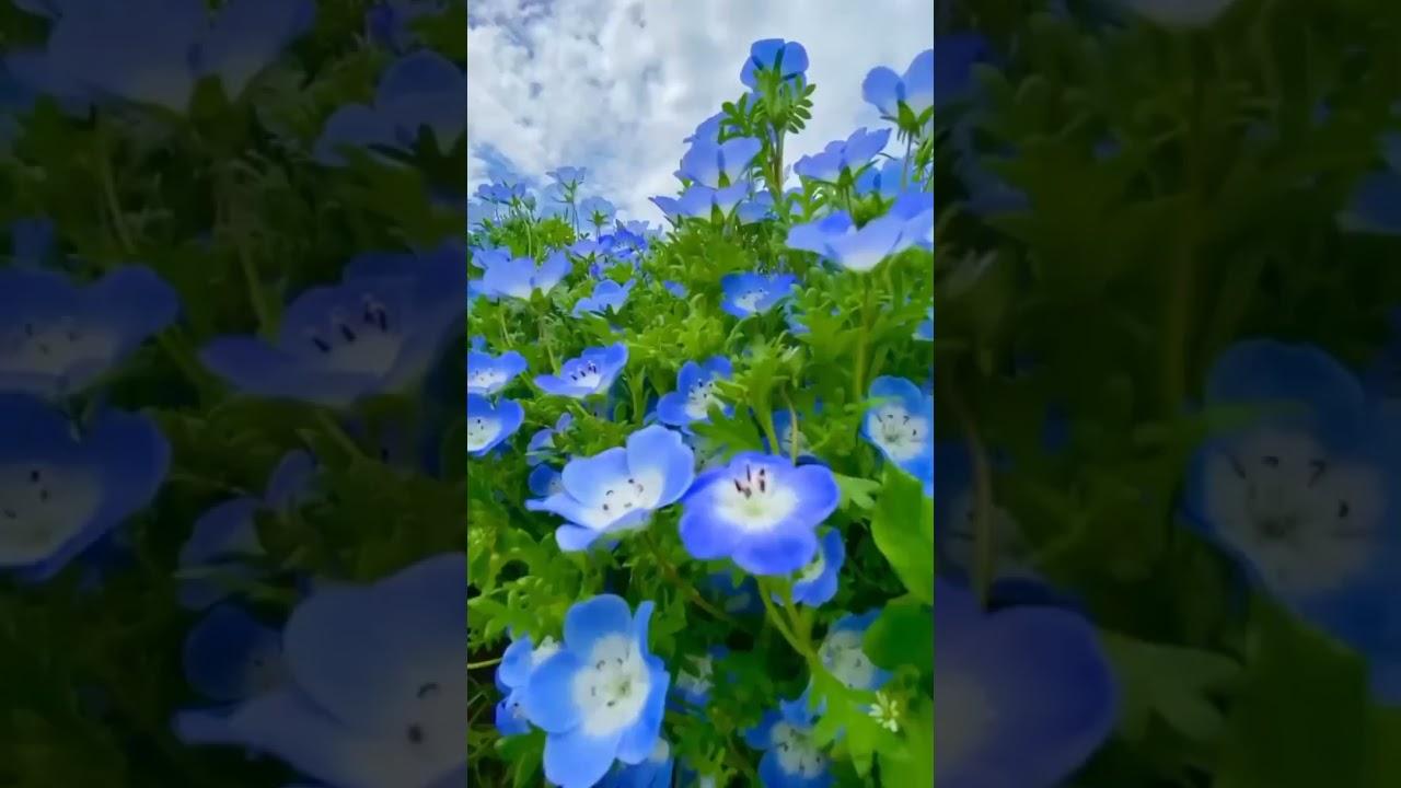 Nemophila flowers are so beautiful