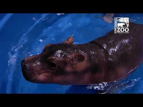 Premature Baby Hippo Fiona Gets a Bigger Pool - Cincinnati Zoo