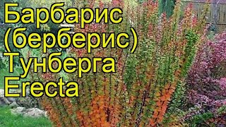 видео Барбарис Тунберга Erecta