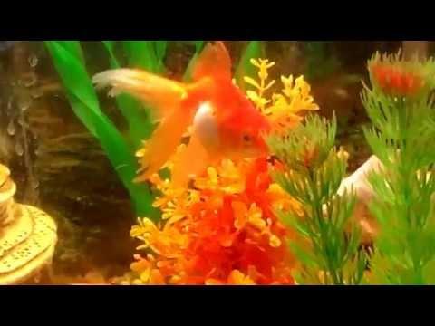 рыба вуалехвост фото