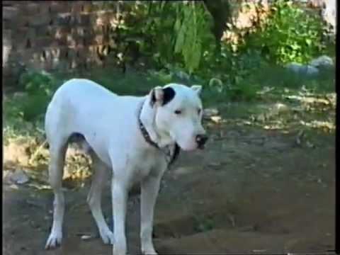 Dog Fighting Videos Pakistan Youtube