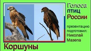 Коршуны. Голоса птиц России