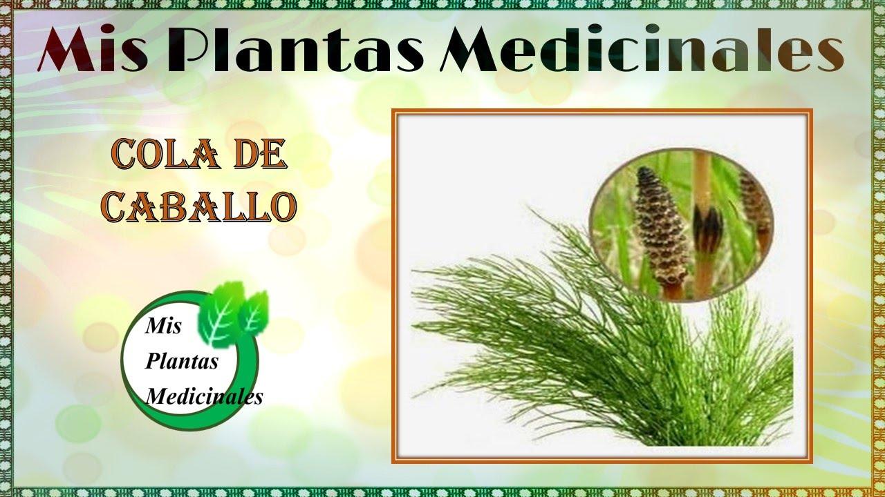propiedades medicinales de la cola de caballo planta