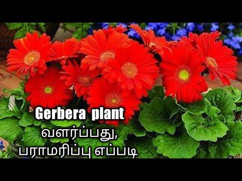 Gerbera  plant வளர்ப்பது  எப்படி  பராமரிப்பு பற்றிய அரிய தகவல்கள்