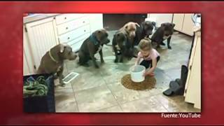 Niña Controla a Seis Perros Pitbull - Almohadazo
