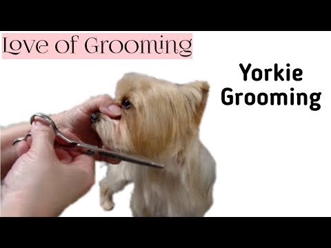 Grooming a Pet Yorkies Head