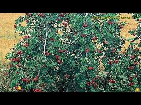 Рябина обыкновенная Пендула. Краткий обзор, описание характеристик sorbus aucuparia Pendula