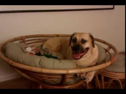 Mr Hamilton Vs Papasan Chair Black Mouth Cur Dog Youtube