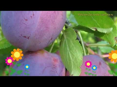 Слива Волжская красавица. Краткий обзор, описание характеристик Prunus Sp. Volzhskaya Krasavitsa