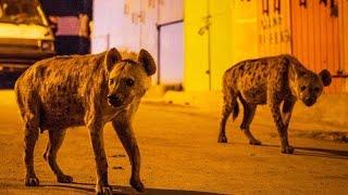 Des hyènes envahissent une ville - ZAPPING SAUVAGE