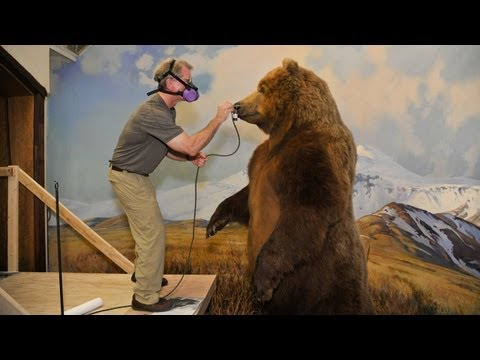 Restoring Dioramas in Hall of North American Mammals