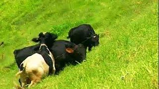 Dairy farm in Munnar, Kerala