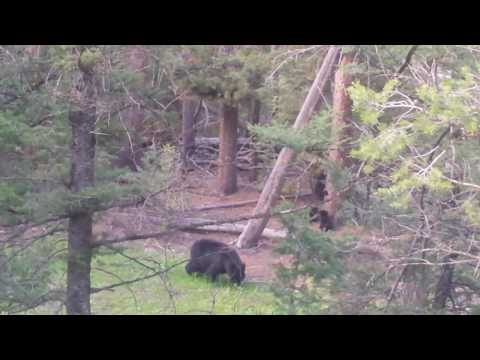 Mama bear and her little cubs in Yellowstone National Park - cute cubs