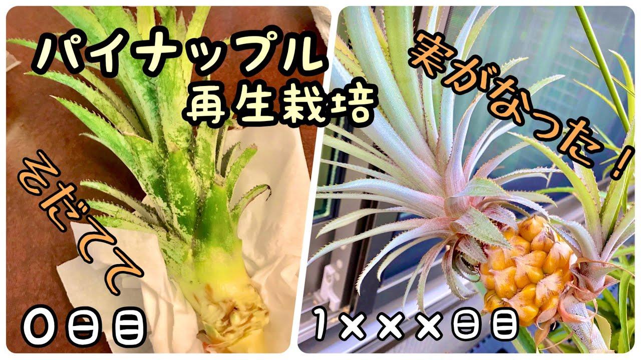 ヘタ 栽培 パイナップル