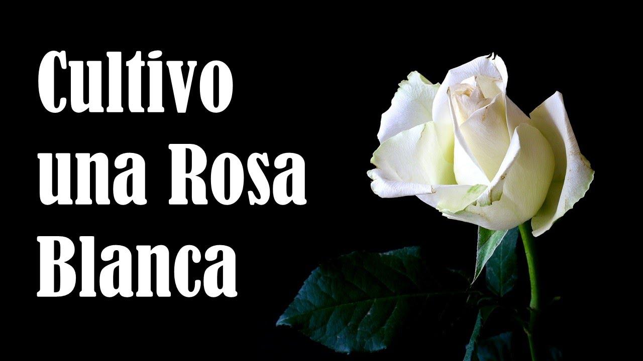 Cultivo Una Rosa Blanca José Martí Youtube