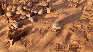 모래 밭에서 잡은 조개 공룡알 같네요 ??