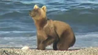 Медведи Камчатки - необычное о привычном