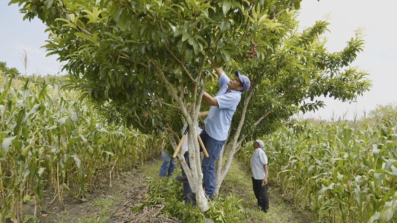 H bitat 3 milpa intercalada con rboles frutales miaf youtube - Cuando se plantan los arboles frutales ...