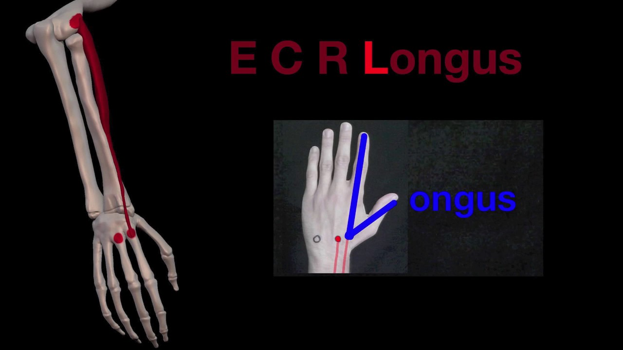 arm muscles 33 extensor carpi radialis brevis and longus youtube