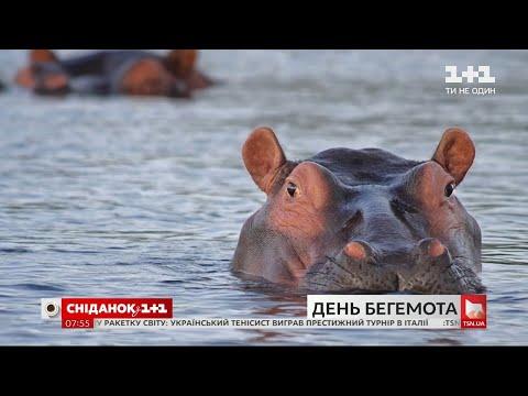 День бегемота: интересные факты о самом опасном животном Африки