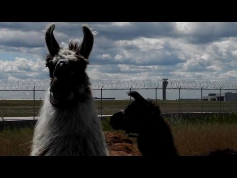 Llamas keep grass cut at Chicago's O'Hare airport
