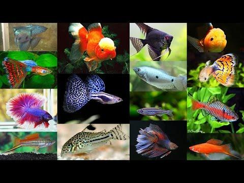 Как называется аквариумная рыбка