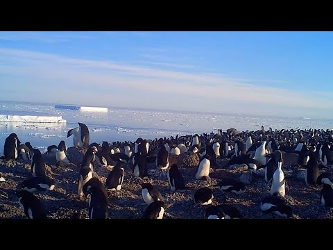 Super-Colony Of Penguins Discovered