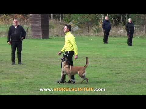 Three years in 5 minutes -- raising a Belgian Malinois .Ronda /Viorel Scinteie in obedience training