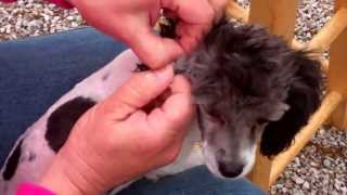 How To Pluck & Clean Ears