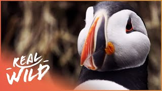 The Secret Lives Of Puffins (Wildlife Documentary) | Puffin Patrol | Real Wild