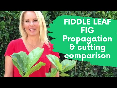 Fiddle Leaf Fig tree (Ficus Lyrata) Propagation UPDATE cutting comparison Part 4 with MOODY BLOOMS